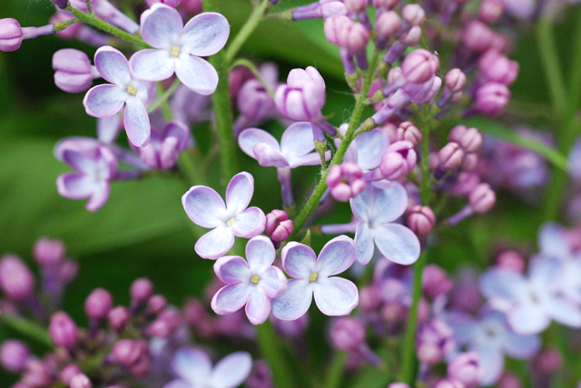 how to lilacs gorw and develop