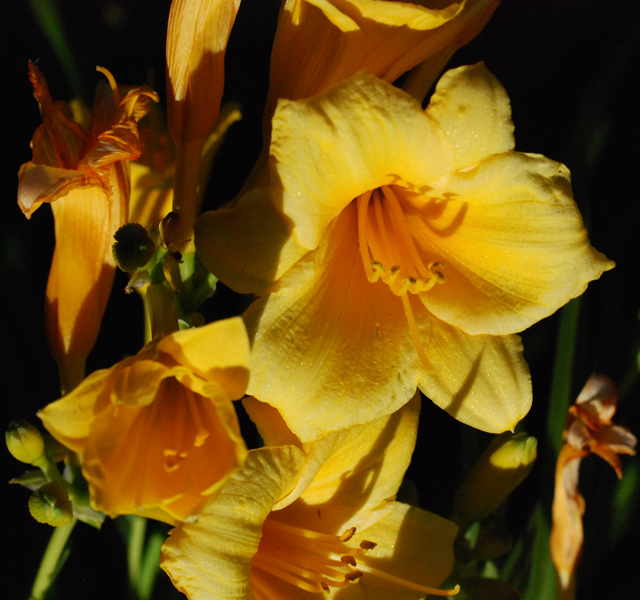 stella de oro daylily growing in zone 4. Black Bedroom Furniture Sets. Home Design Ideas
