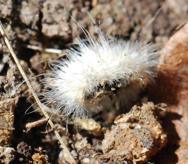 White Caterpillar