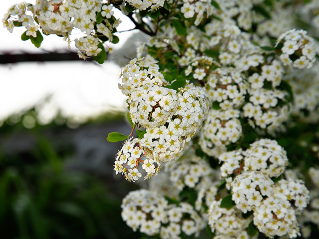 Bridalwreath Spirea