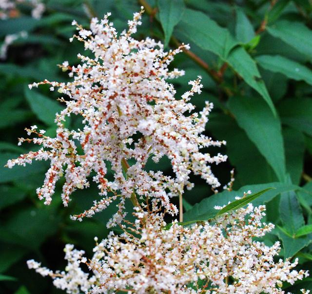 Nature growing in zone 4 persicaria polymorpha white fleeceflower mightylinksfo