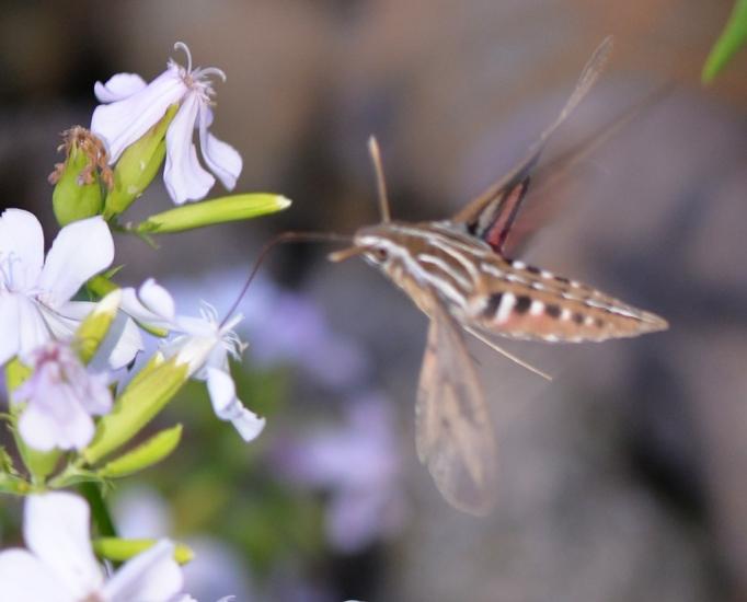 Sphnix Moth 6386