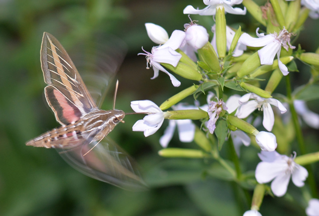 White-lined Sphinx moth; Hyles lineata